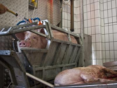 Schweine Töten