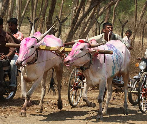 timeline_500x420_bull_cart_races_ban_2014_india