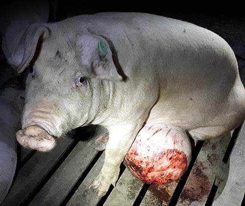 timeline_500x420_pigs_investigation_2018_spain