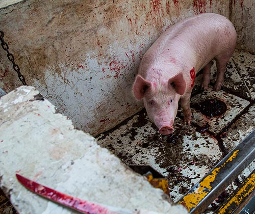 timeline_500x420_pigs_slaughterhouse_investigation_2016_mexico