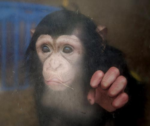 timeline_500x420_chimpanzee_2013_germany