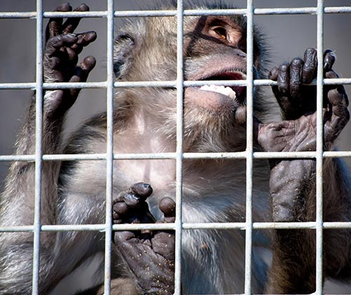 timeline_500x420_monkey_vivisection_investigation_2013_spain