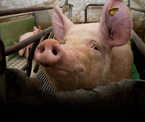 timeline_500x420_pig_farrowing_crate_2010_spain